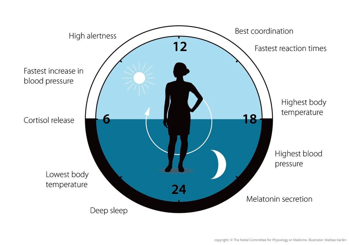 Как работают «биологические часы» человека
