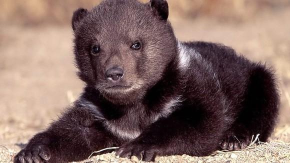 В Киевском зоопарке пополнение: появился на свет уссурийский медвежонок