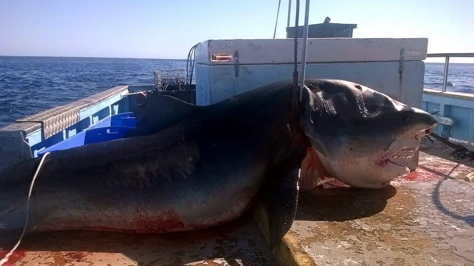 Фото: Близ Австралии поймана гигантская 6-метровая акула